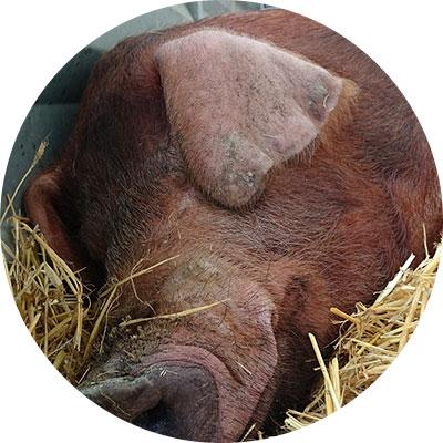 cerdo duroc dormido