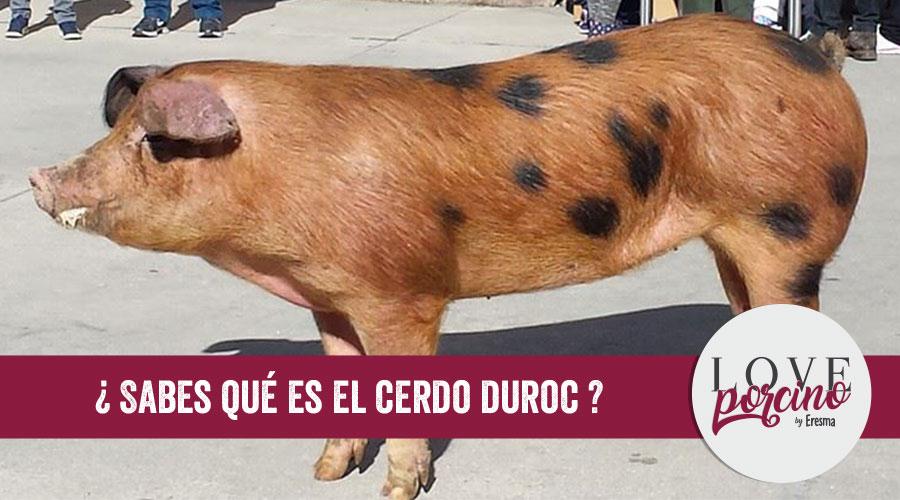 Qué es el cerdo duroc